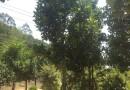 12公分菠萝蜜树