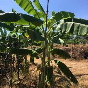 规格高度3米芭蕉树