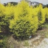 高度2米黄金宝树