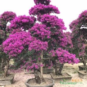 紫色三角梅价格高3米