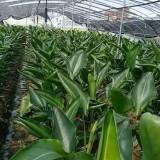鶴望蘭  高度60-1米鶴望蘭價格
