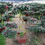 游龙式造型比利时梅红杜鹃花