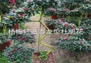 3公分桂花
