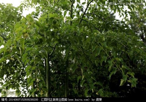 青皮椴,青窄槭