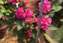 三角梅种植基地 批发 小红盆 高度40到50 价格6元