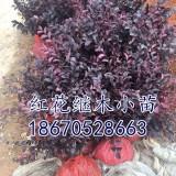 红花继木小苗(湖南色块苗价格)批发