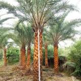 中东海枣批发   杆高 3米    价格700