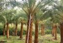 中东海枣批发 杆高4米 价格1000