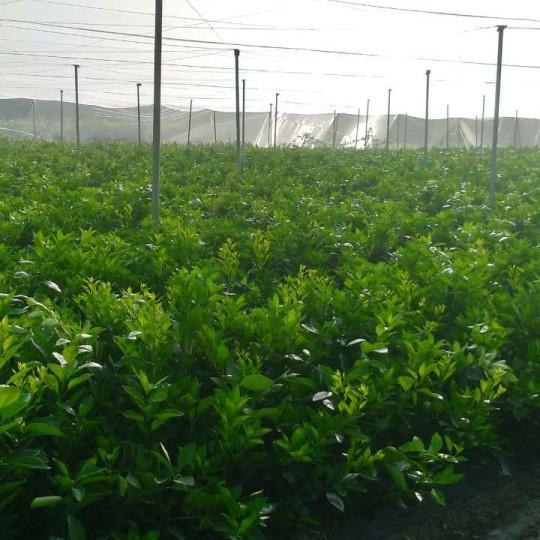 紐荷爾臍橙苗,贛南早熟臍橙苗,紅肉臍橙苗
