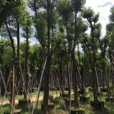 福建香樟批发  高度3米5  价格230