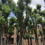 福建香樟批发  高度4米5 价格650