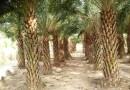 中东海枣批发 杆高2米 价格320