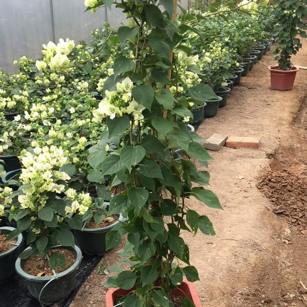 福建三角梅批发  高度1-1.3米樱花粉   价格65