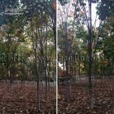 10公分白花七叶树