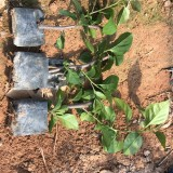 35厘米高绿樱红三角梅小苗