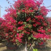 1.8米高四季红三角梅