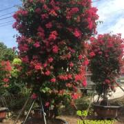 2.5米高四季红三角梅