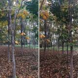 14公分红花七叶树