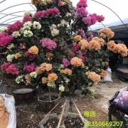 2.5米高多色三角梅