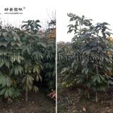 8公分白花七叶树