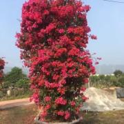 2.7米高四季红三角梅