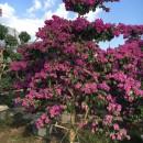 福建三角梅紫色桩景批发 高度2米