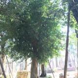 福建小叶榕场地批发 量大从优 米径15
