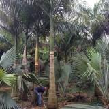 大王椰子基地批发 杆高3米