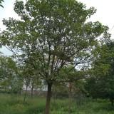 15公分优质秋枫