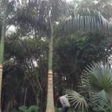大王椰子基地批发 杆高5米