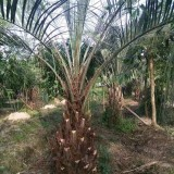 布迪椰子批发 杆高2米5