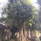 福建小叶榕场地批发 量大从优 米径20
