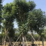 18公分优质火焰木