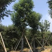 15公分火焰木价格 福建火焰木基地