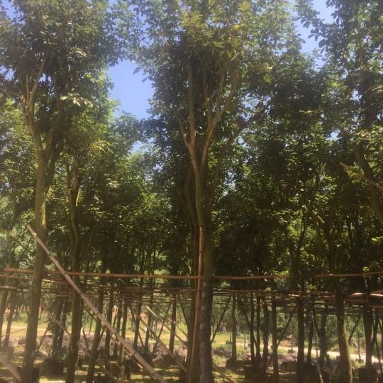 黃花風鈴木米徑15公分