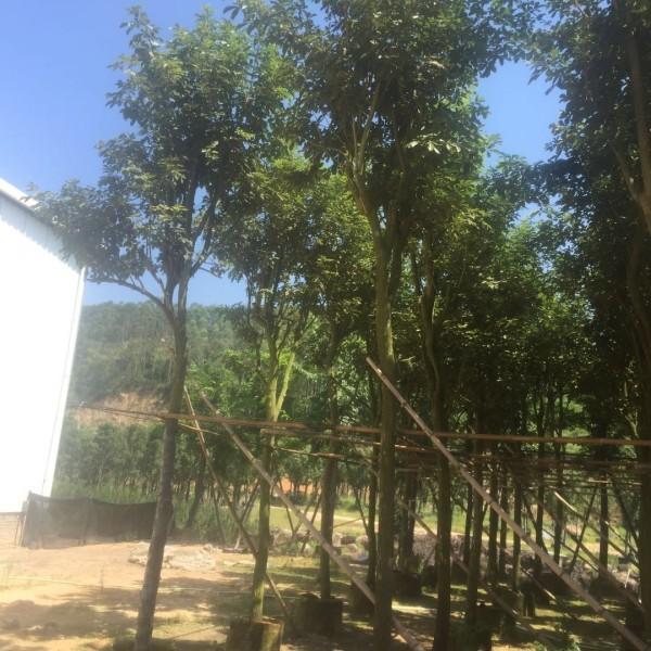 黄花风铃木米径15公分