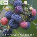黑树莓 红泡刺藤 果实超甜品种