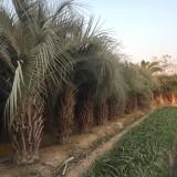 自家基地布迪椰子批发 杆高3米5