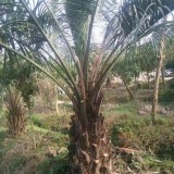 布迪椰子批发 杆高2米