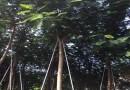 規格15公分鳳凰木