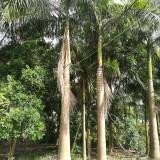 大王椰子基地批发 杆高8米
