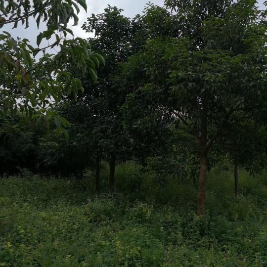12公分秋楓