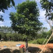 18公分秋枫精品袋苗