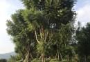 50公分三角梅盆栽
