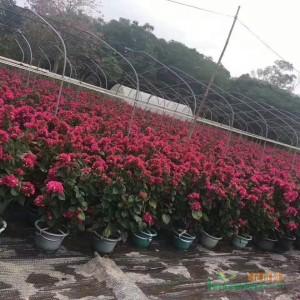 小红盆三角梅