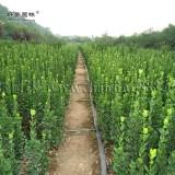0.5米北海道黄杨