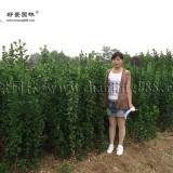 4米北海道黄杨