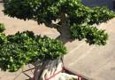 造型小叶榕桩景