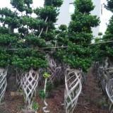 小叶榕桩景场地批发 米径70
