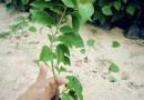 桂丽园艺,常年批发,高度25-30三角梅袋苗